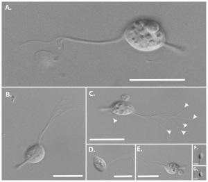 cthyllaorganism